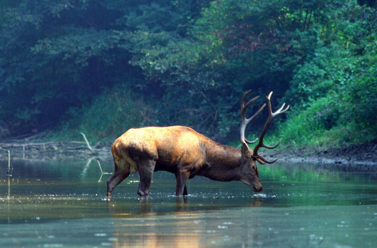 Donau-Auen hjort